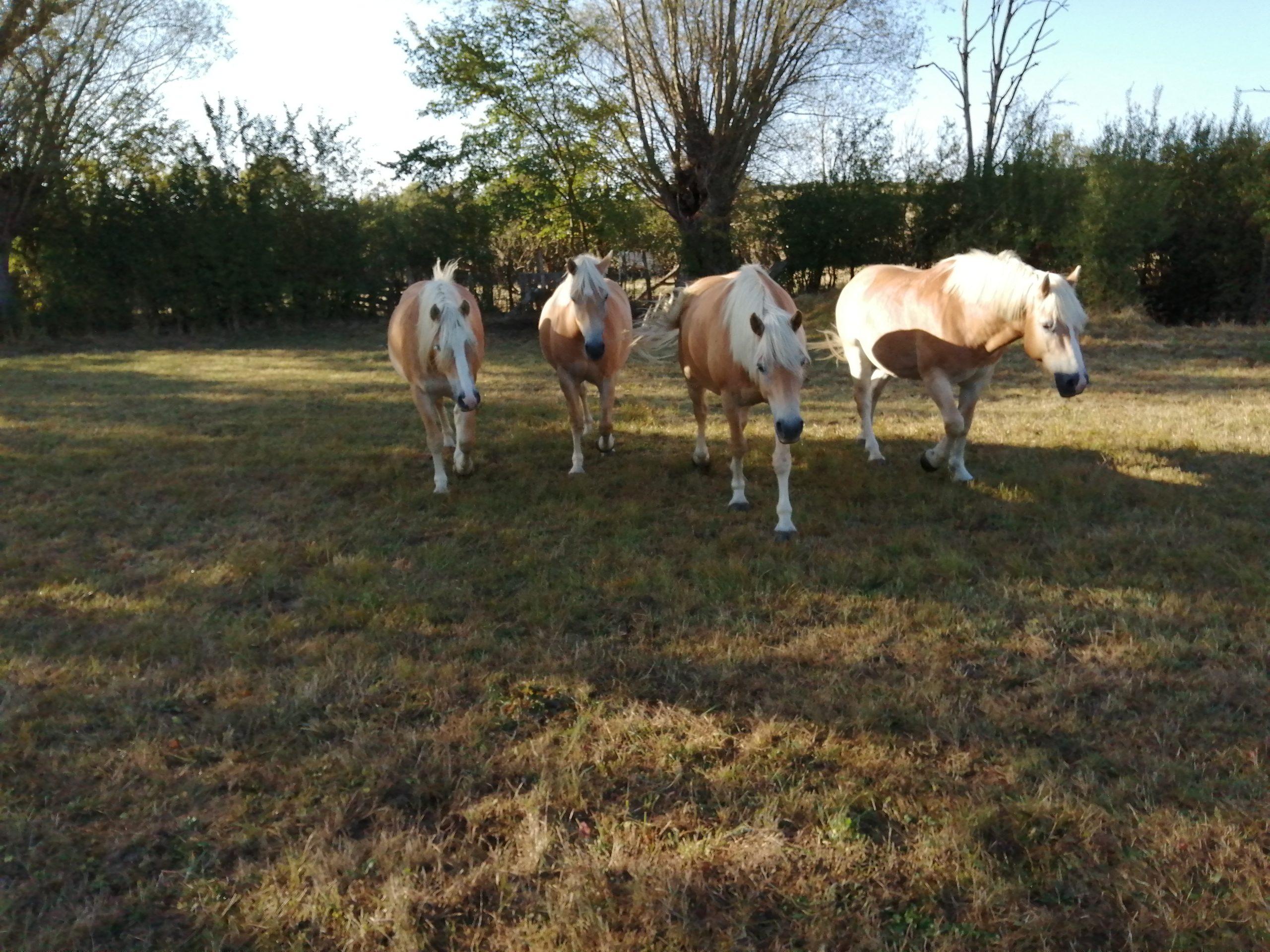 4 poneys qui sont prêt à travailler
