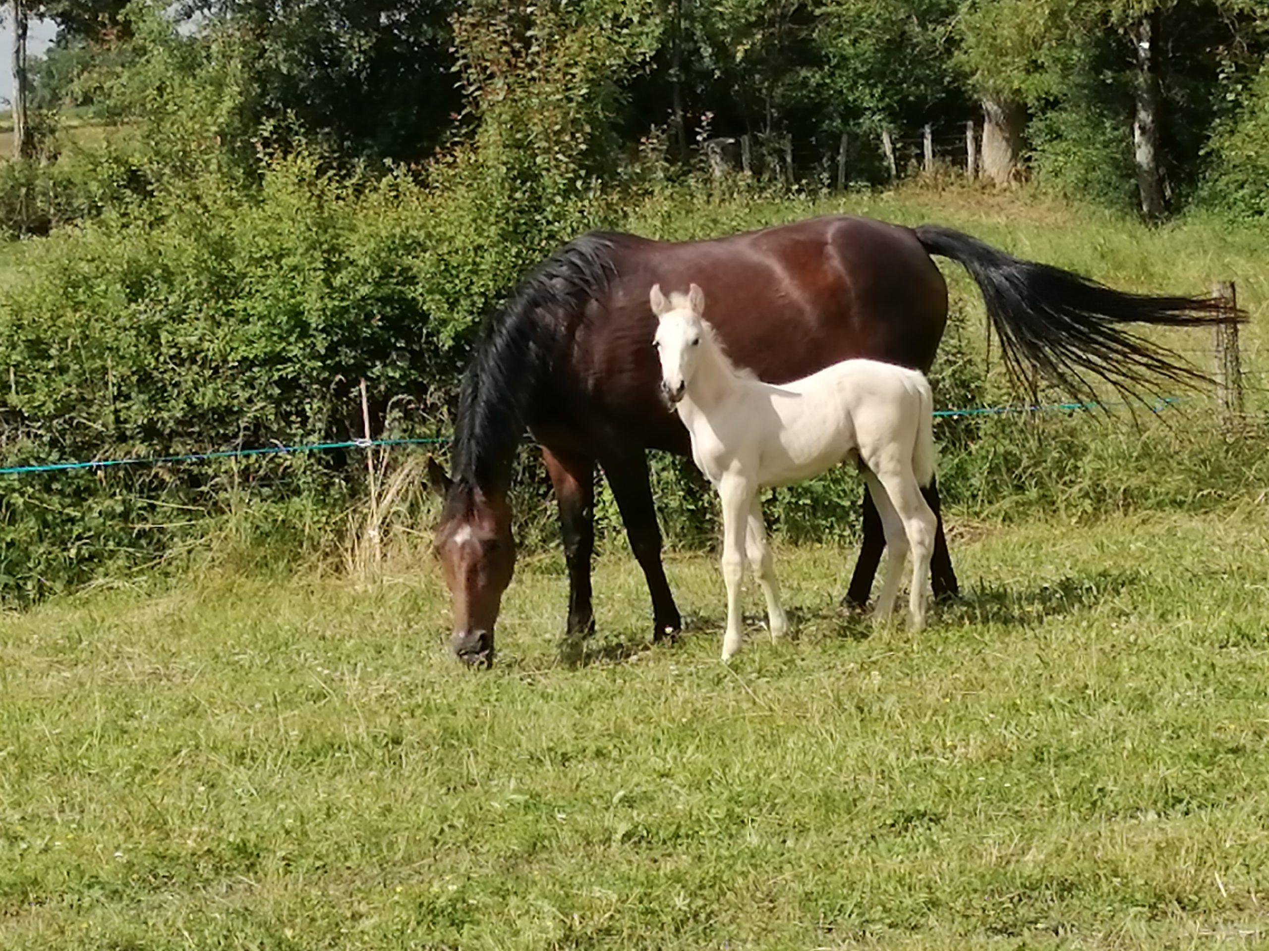 poulain et sa mère né à la ferme d'Arconcey